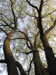 Dub v Dolních Počernicích