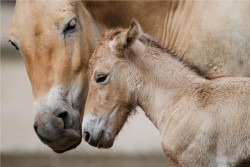 mlade kone prevalskeho v zoo praha