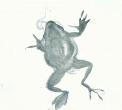 Přejetá žába - tuš na papíře